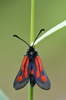 Para ampliar Zygaena osterodensis hacer clic