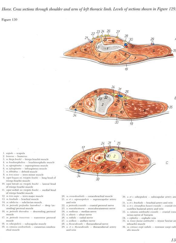 Ttulo: ATUALIZADO 2012 Peter Popesko : Atlas de Anatoma