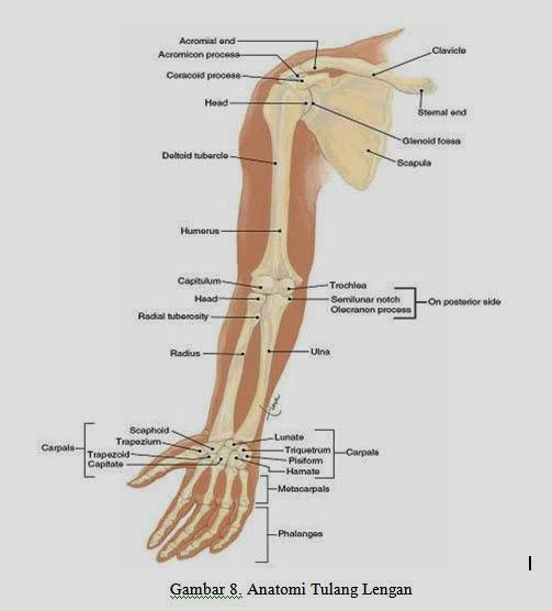 Anatomi Tulang Lengan