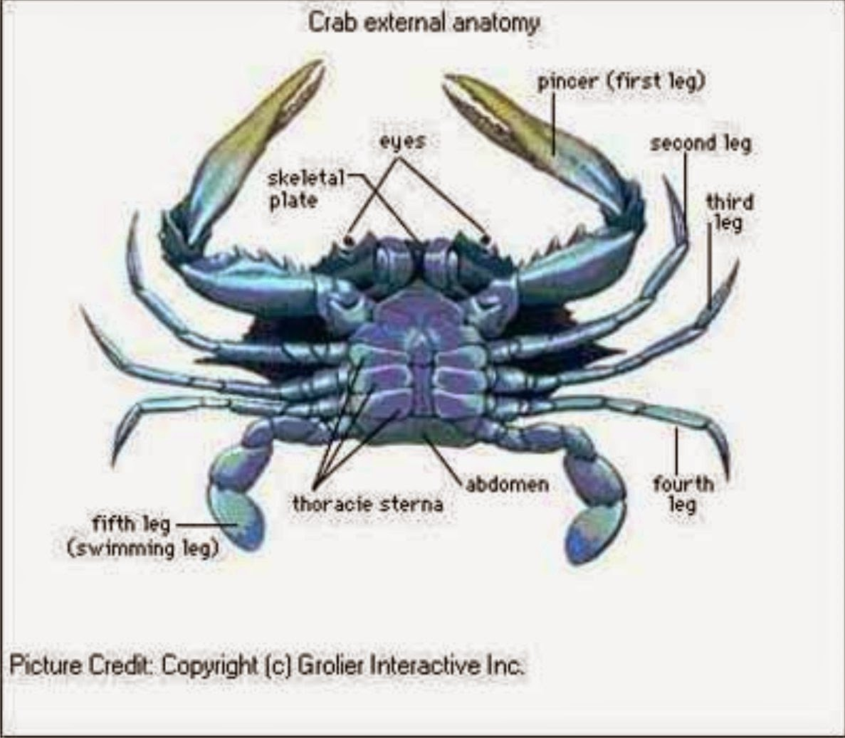 Blue crab diagram - crazywidow.info