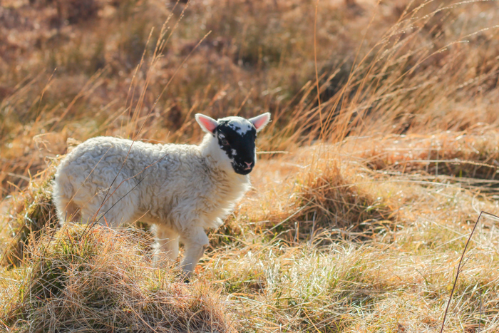 Irish Lamb