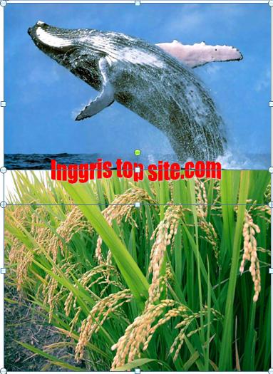 Menulis teks report tentang Whales dan rice (Paus dan padi)