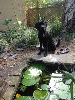 Coach stands at the end of the pond looking into the camera.  The lily pads and flower are all in the foreground. He has his head tilted slightly to the left.