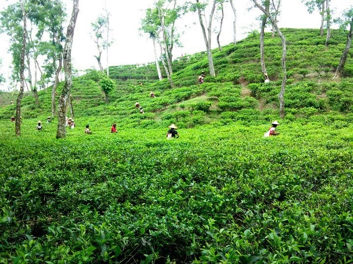 amazing bangladesh beautiful tea garden  habiganj