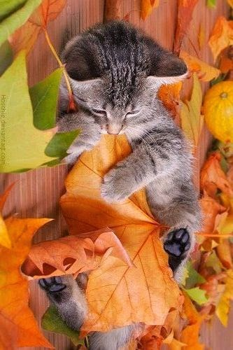kitty in autumn fall leafs, kitten in herfstbladeren