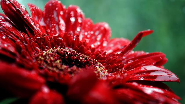 Flores Rojas Despues de la Lluvia