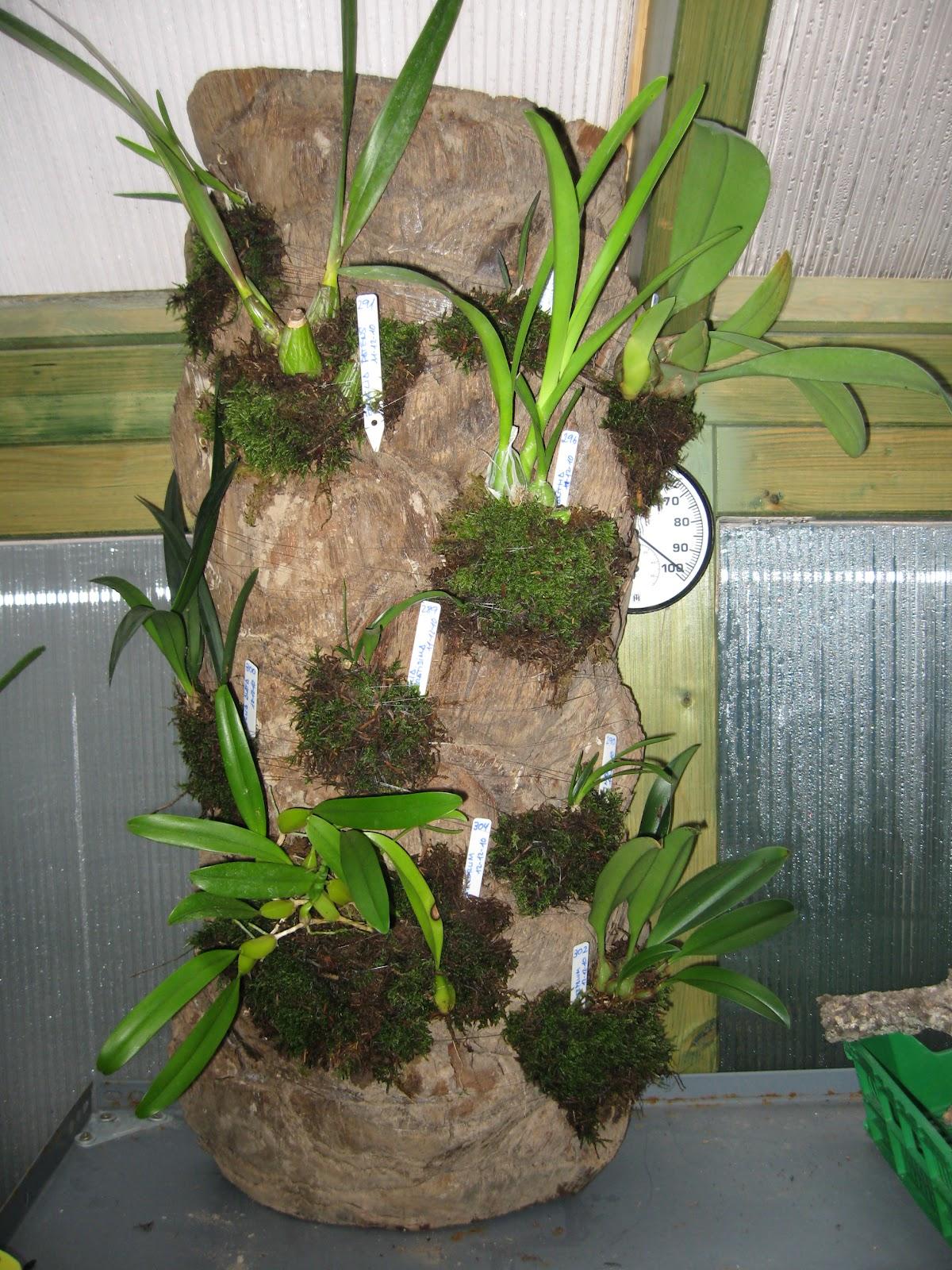 Y este es el resultado del montaje de las orquídeas que os comentaba en la entrada anterior en un tronco de palmera.