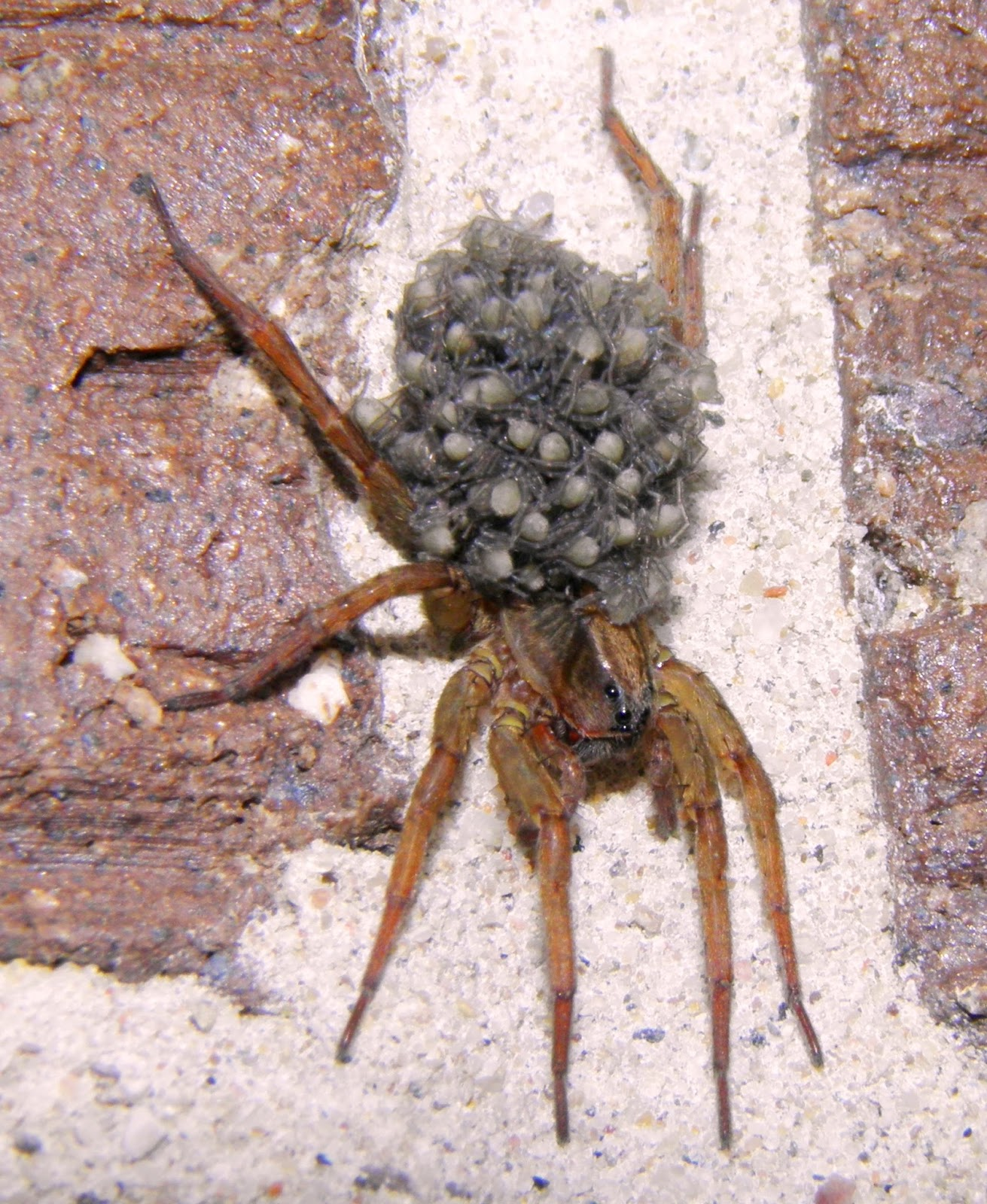 wild birds unlimited wolf spider carries 100 babies on her back