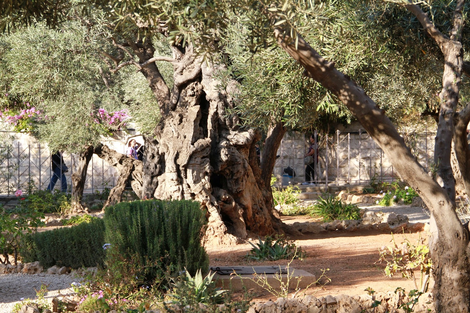 Apricots today the easter story in real life for Age olive trees garden gethsemane