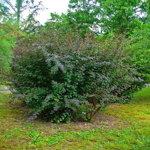 Arte y jardiner a agracejo berberis sp for Arbustos de jardin