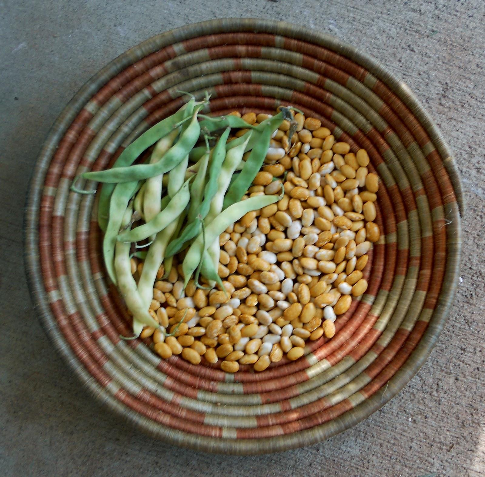 A Kitchen Garden in Kihei Maui: Growing High & Low Desert Heirloom Beans