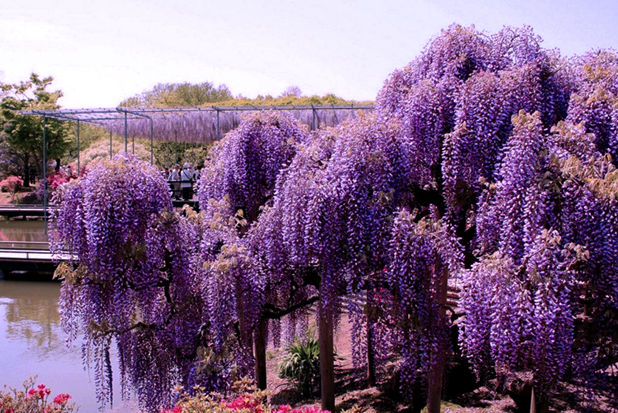 The most beautiful flowering trees in your garden page 3 for Most beautiful garden trees