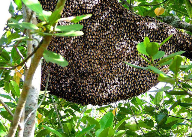 Hive of Bees in Sundarban