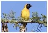 Lesser Masked Weaver , Manyar topeng hitam