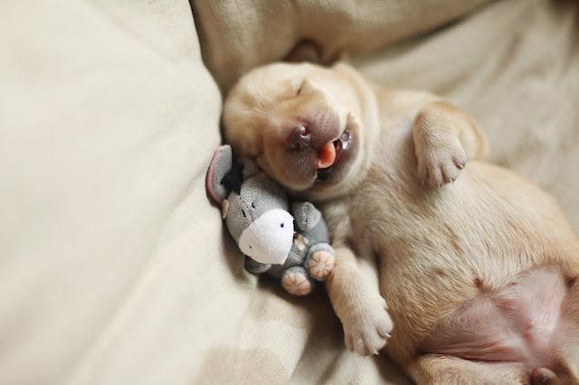 So Cute Sleepy Pupple