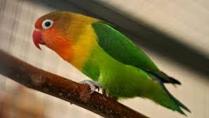 Perawatan Harian Lovebird