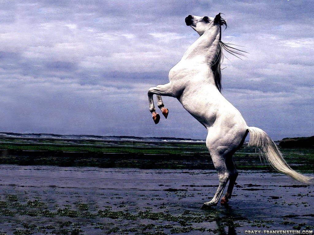 My wallpapers corner white arabian stallion horse stand up wallpaper - Arabian horse pics ...