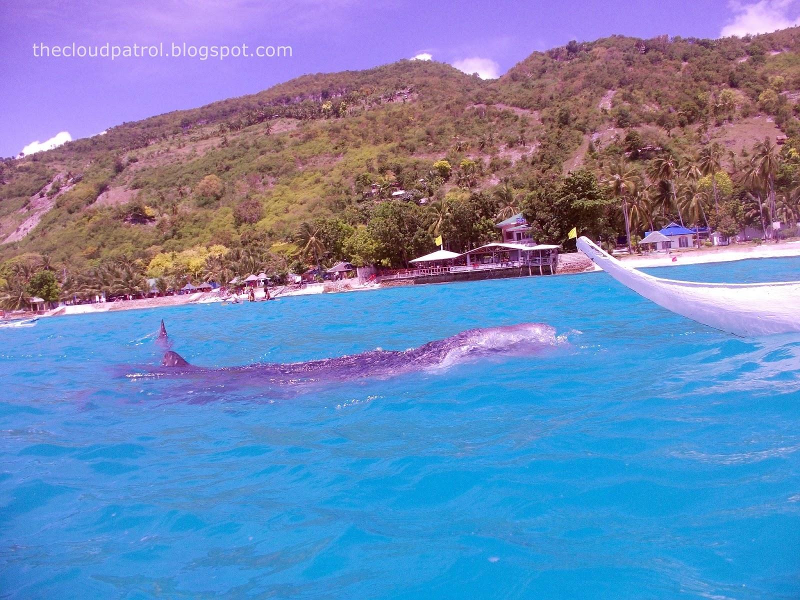Butanding, whale shark, cebu, oslob, philippines, watchig, swimming, beach