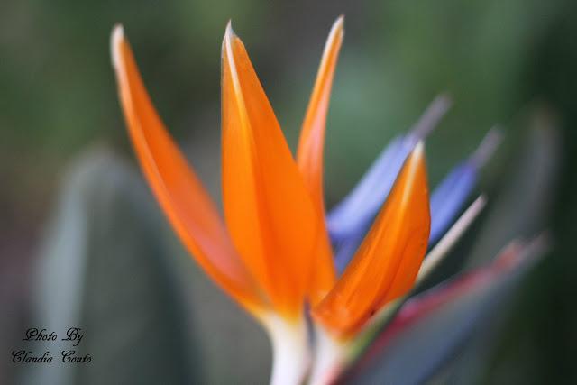Uma flor de beleza inconfundível com cores vivas que atrai o olhar e cativa pela sua presença. Fotografia macro para ressaltar a cor sem perder as formas de uma bela Ave-do-paraíso (Strelitzia).