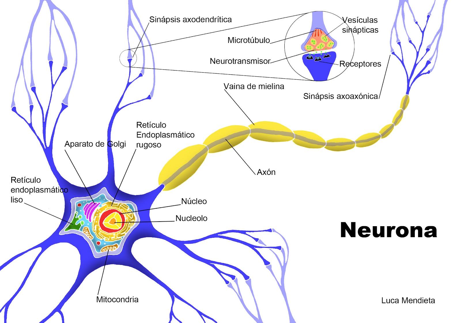 la neurona en una unidad estructural y funcional del ssistema nervioso ...