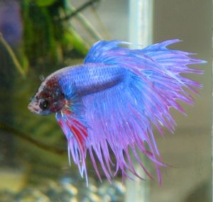 Kepet kalungan aret amazing colourful betta fish photos for Best water for betta fish