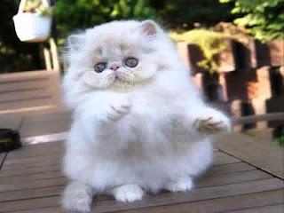 Gambar Kucing Persia Lucu 100012