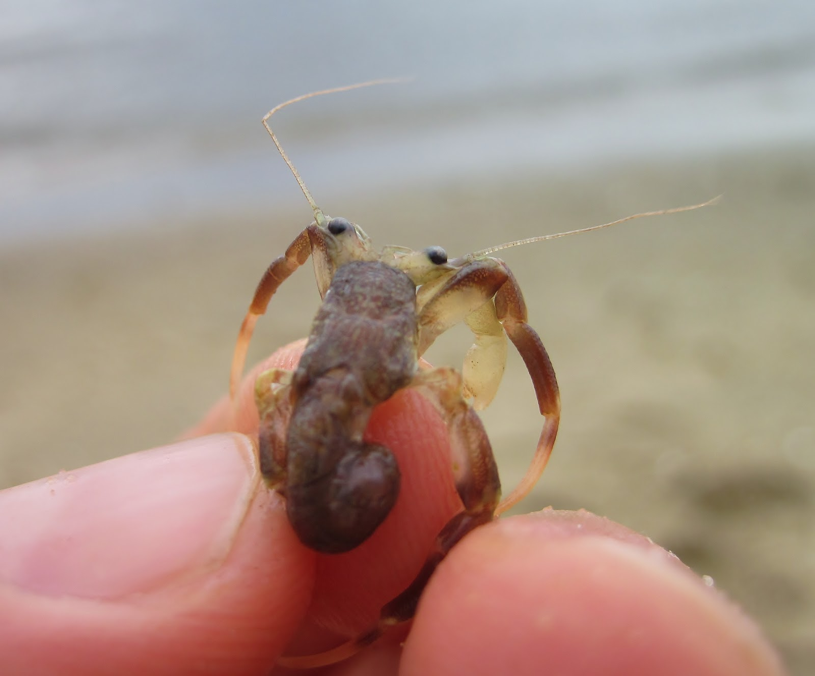 Hermit crab without shell - photo#5