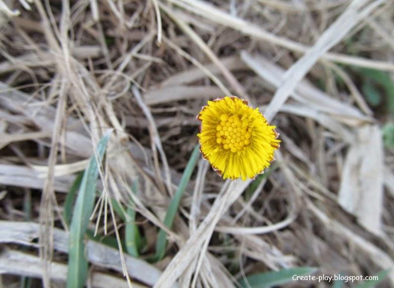 мать-и-мачеха желтый цветок