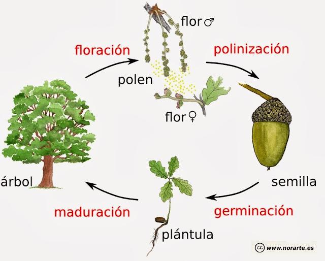 Ciclo biológico o de vida de una planta