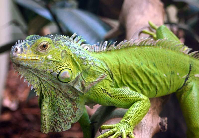 imagenes de iguanas