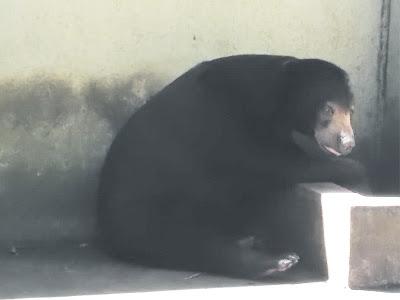 gambar beruang madu di kebun binatang