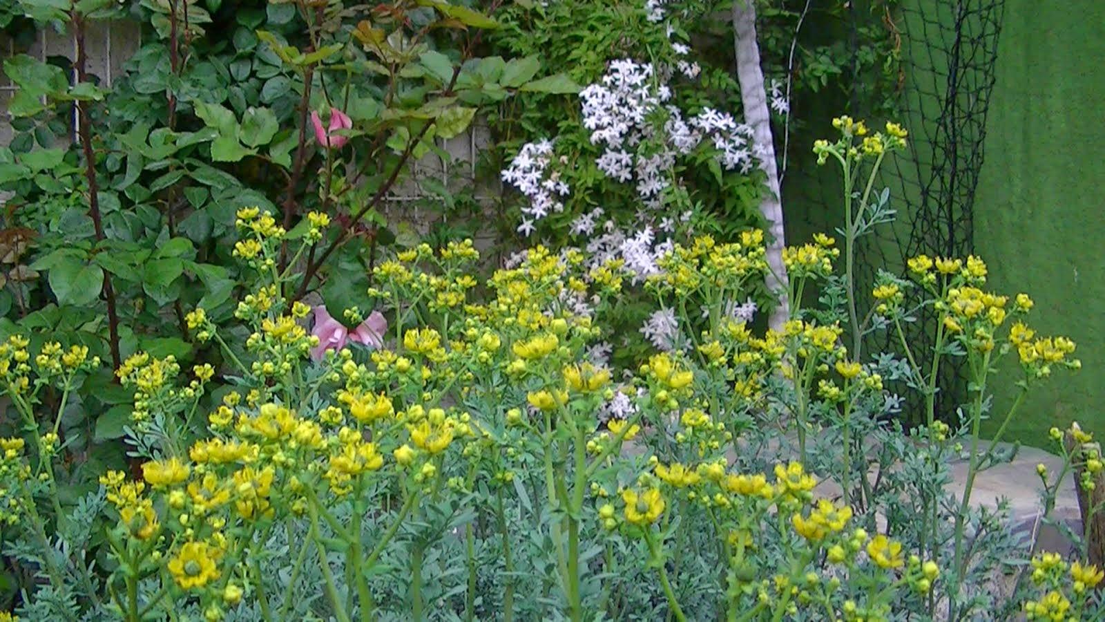 Ruda en mi jardín