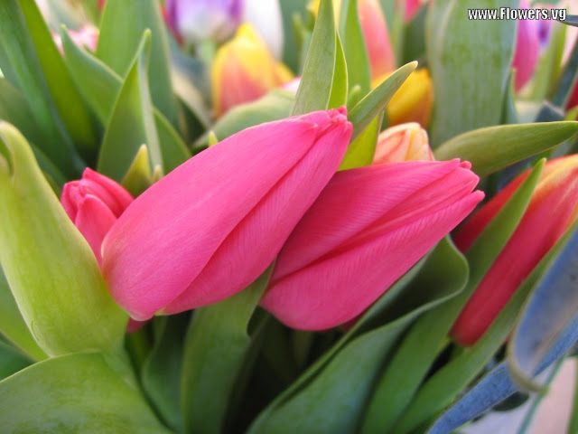 Hot Pink Tulip Bouquets Tulip flowerHot Pink Tulip Bouquets