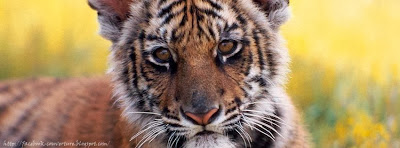 Couverture facebook sauvage tigre