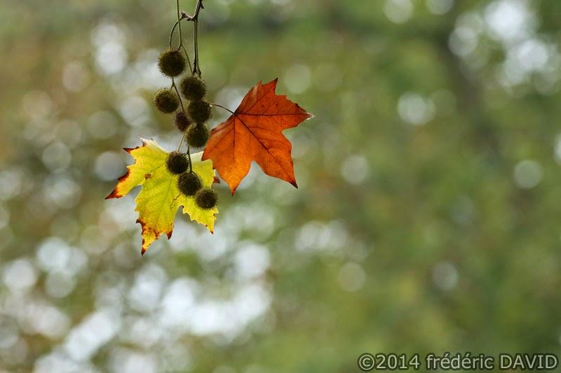 automne feuille érable nature forêt