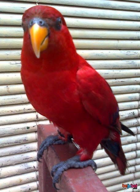 tips cara merawat burung nuri gembala news