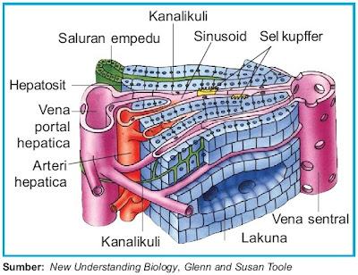 Struktur hati manusia