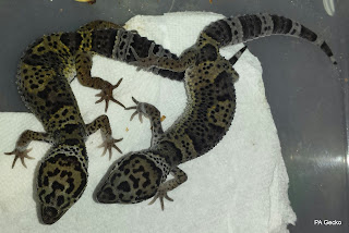 PA-Gecko-Total-Afghanicus