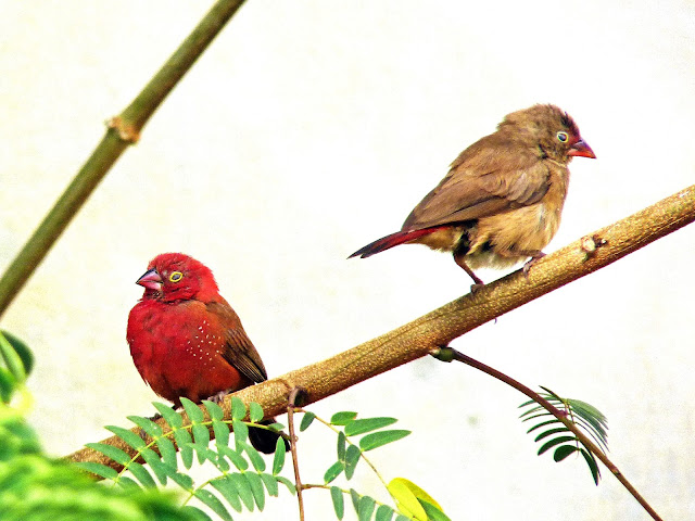 Buy wallart of Red-billed firefinch