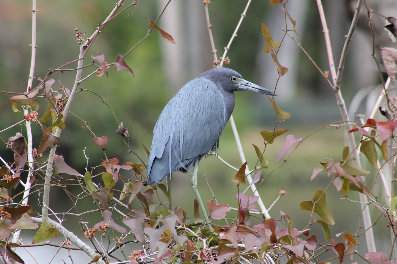 ty and ida on the road the treasure coast port st lucie is part of the treasure coast and we re finding a treasure trove of good birds like this little blue heron and wildlife