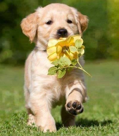 cute puppy holding a yellow rose