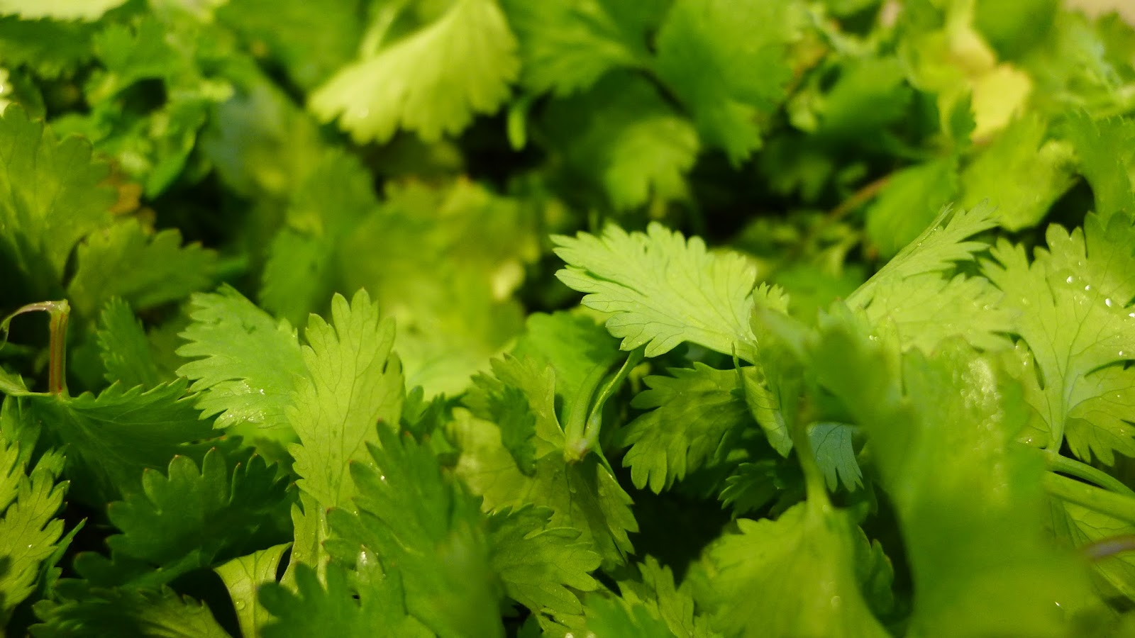 how to say cilantro in tamil