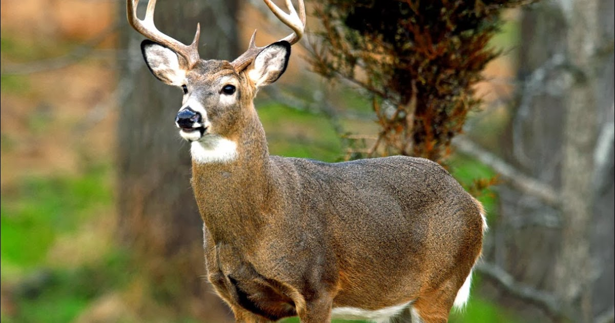 White-Tailed Deer - Pets