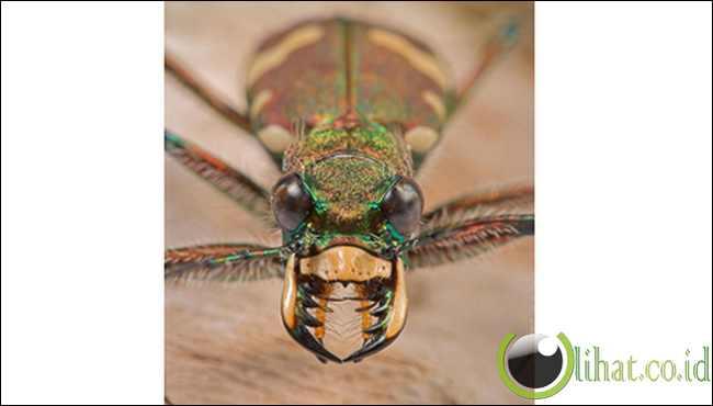 Kumbang Macan