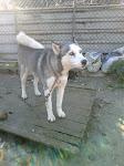 Husky (Sto Tirso)