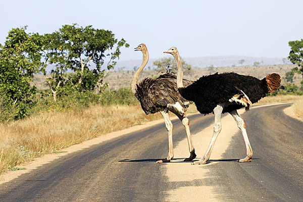 Ostrich in Our country beutiful.