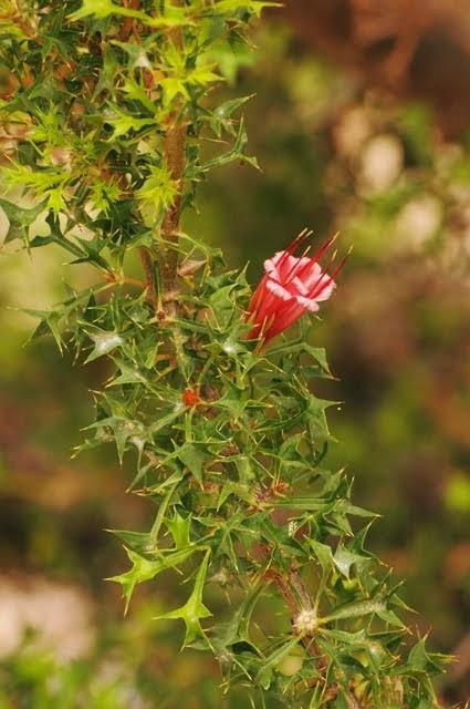 Prickly Honeysuckle - Lambertia echinata ssp echinata 029