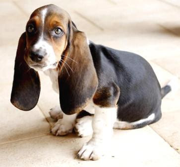 Basset Hound Puppies Pictures | Puppies Dog Breed Information Image ...