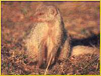 Mongoose Mungos mungo images