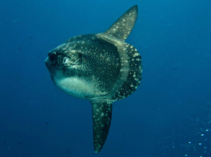 Sunfish the life of animals for The mola mola fish
